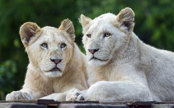 Papéis de Parede Dois leões brancos, descanso