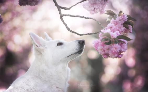 Papéis de Parede Cão branco, cabeça, flor cor-de-rosa de Sakura