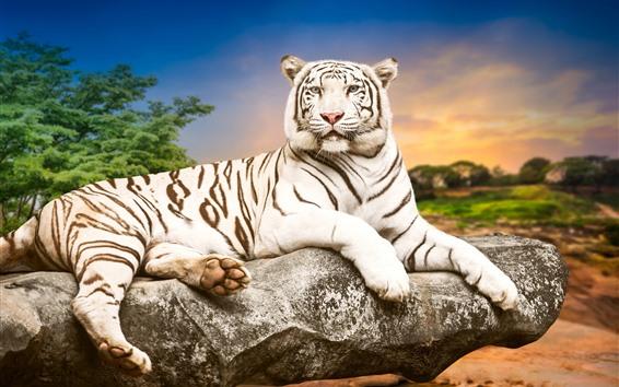 Wallpaper White tiger, stone, dusk