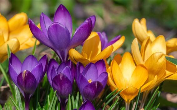 배경 화면 노란색과 보라색 크 로커 스, 봄 꽃