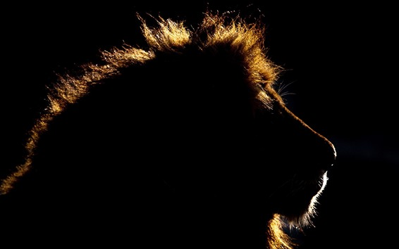 Wallpaper Animal king, lion, head, silhouette, black background