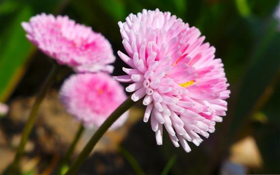 Wallpaper Beautiful pink flowers, petals, stem