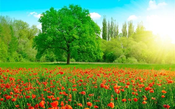 배경 화면 아름다운 여름, 빨간 양귀비 꽃, 푸른 잔디와 나무, 태양 광선