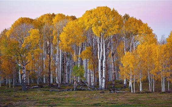 Wallpaper Birch, trees, yellow foliage, autumn