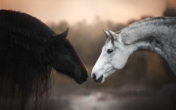 Обои Черно-белые лошади, лицом к лицу