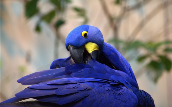 Wallpaper Blue feather parrot, wings