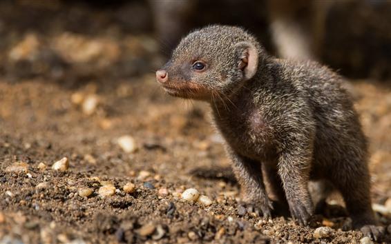 Papéis de Parede Filhote mangusto bonito