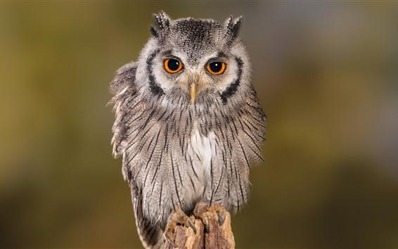 壁纸 可爱的猫头鹰,站立,看,眼睛