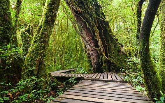 Wallpaper Doi Inthanon National Park, jungle, trees, wood footpath, Thailand