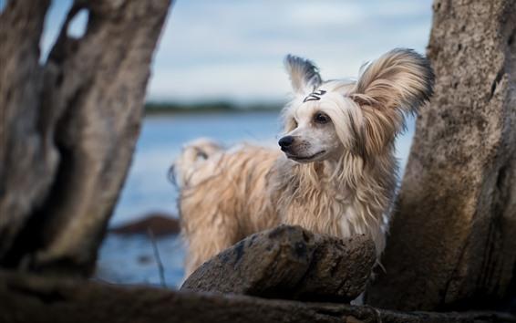 Wallpaper Furry white dog, rocks