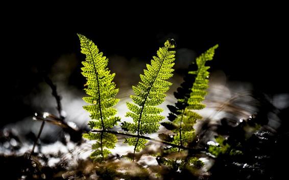 Обои Листья зеленого папоротника, вода, подсветка