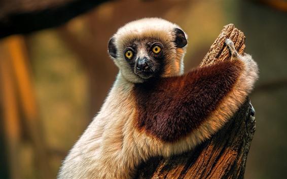 Wallpaper Lemur, cute animal
