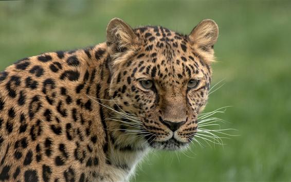Wallpaper Leopard, look, head, green background
