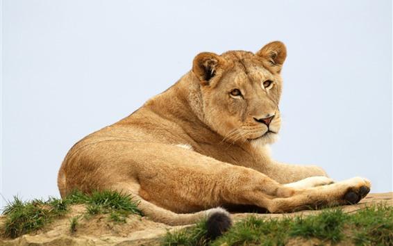 Papéis de Parede Leoa, vida selvagem, descanso, olhe para trás