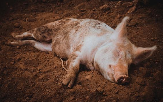 Papéis de Parede Sono pequeno do porco na terra