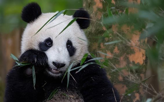 Papéis de Parede Adorável animal, Panda