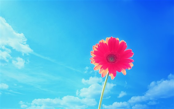 Wallpaper One red gerbera flower, blue sky