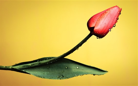 Wallpaper One red tulip, water droplets, yellow background