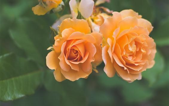 Fondos de pantalla Rosas naranjas de cerca, fondo brumoso
