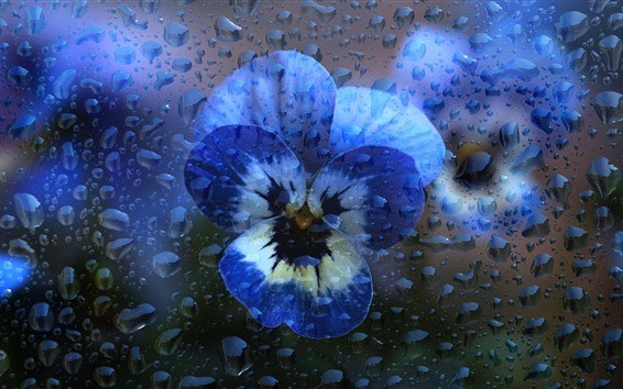 Wallpaper Pansy, water droplets, creative picture