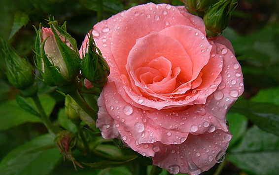 Wallpaper Pink roses, water droplets, hazy background