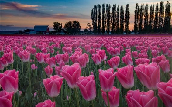 Papéis de Parede Campo de tulipas cor de rosa, árvores, casa, crepúsculo