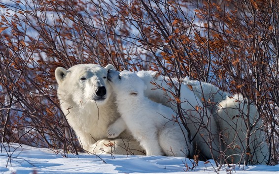Papéis de Parede Ursos polares, família, neve, arbustos