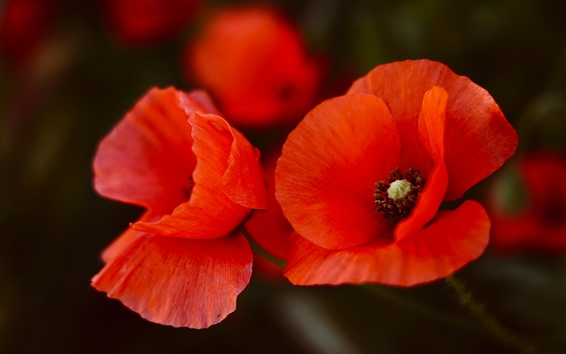 Fond d'écran Coquelicots rouges, pétales, close-up de fleur