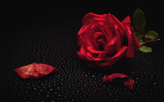 Wallpaper Red rose, petal, water droplets, black background