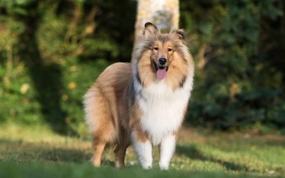Wallpaper Shetland Sheepdog, dog