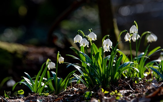 Wallpaper Snowdrops, white flowers, green foliage, spring