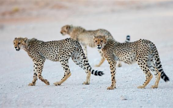 Papéis de Parede Alguns filhotes da chita, animais selvagens