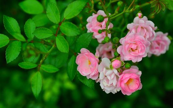 Fondos de pantalla Algunas rosas rosadas, hojas verdes, primavera.