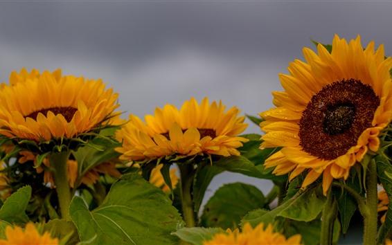 Wallpaper Sunflowers, water droplets, gray sky