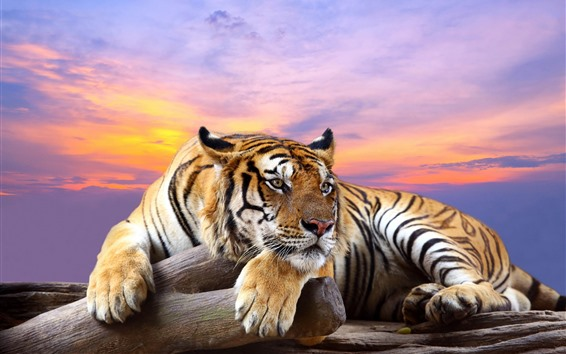 Wallpaper Tiger, rest, paws, red sky, sunset