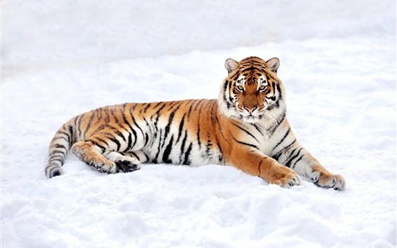 Papéis de Parede Descanso do tigre, neve, inverno, mundo branco
