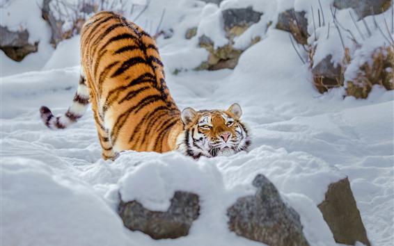 Wallpaper Tiger, snow, pose, winter