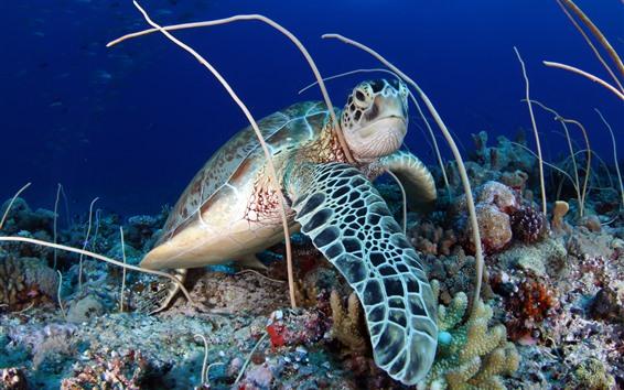 Papéis de Parede Tartaruga, coral, mar