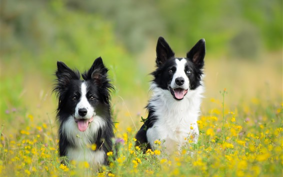 Wallpaper Two dogs in the spring, yellow flowers, hazy