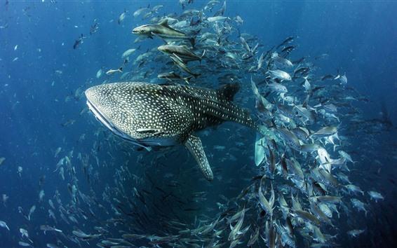 Fond d'écran Requin baleine, poisson, mer, sous l'eau