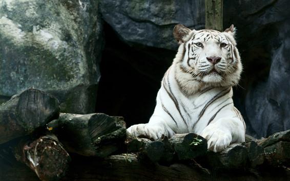 Papéis de Parede Tigre branco, olha, zoológico