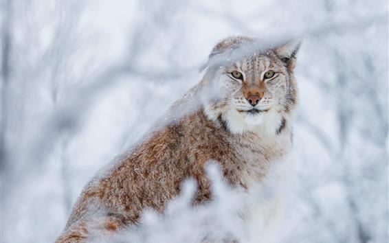 Papéis de Parede Wildcat, lince, obscuro, galhos