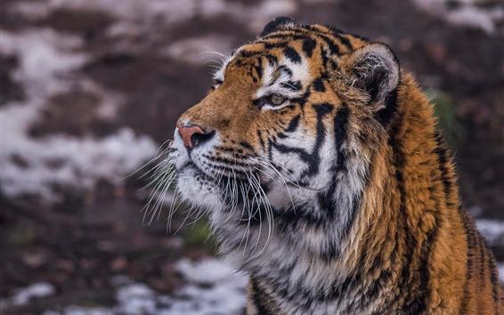 Papéis de Parede Vida selvagem, tigre, cara, olhar