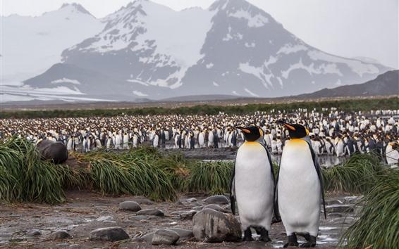 Wallpaper A lot of penguins