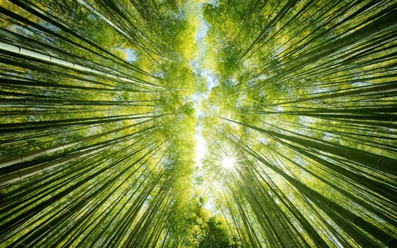 Wallpaper Bamboo forest, green, sun rays, from bottom view