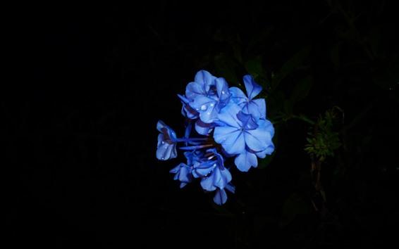 Fondos de pantalla Flores azules, pétalos, fondo negro.