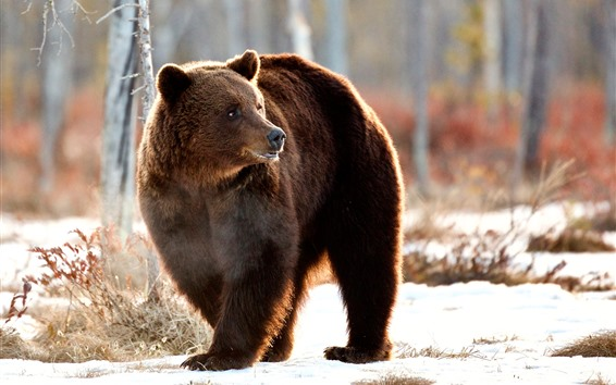 壁紙 茶色のクマ振り返る, 冬, 雪