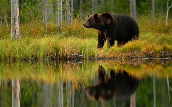 Обои Бурый медведь, пруд, трава