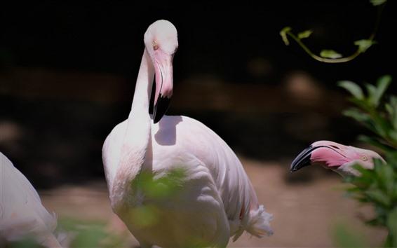 Обои Фламинго, птица, шея