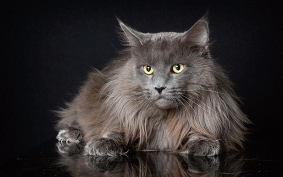 Fond d'écran Chat gris fourrure, regard, yeux jaunes, fond noir